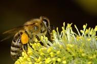 采蜜的小蜜蜂图片(15张)