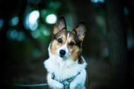 彭布罗克威尔士柯基犬图片(6张)