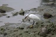 白鹭抓泥鳅图片(19张)
