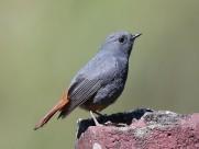 红尾水鸲鸟类图片(6张)
