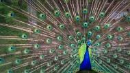美丽的孔雀开屏图片(11张)
