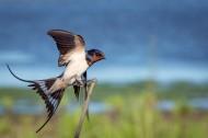 黑色可爱的燕子图片(12张)
