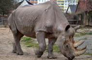 健壮的犀牛图片(15张)