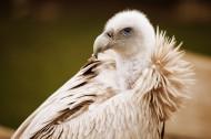 秃鹫图片(10张)
