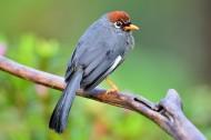 可爱的红头噪鹛鸟类图片(6张)