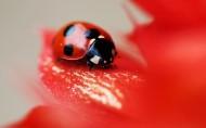 美丽的七星瓢虫图片(28张)