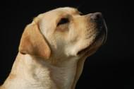 温和的拉布拉多犬图片(14张)