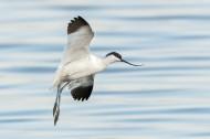 反嘴鷸鸟类图片(9张)