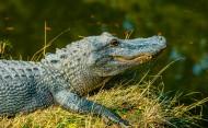 凶猛的鳄鱼图片(15张)