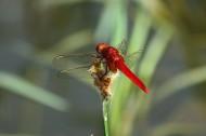 红蜻蜓图片(6张)
