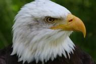 老鹰头部图片(14张)