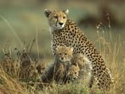 豹图片(24张)