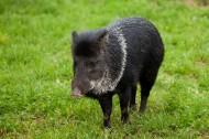 野猪图片(10张)