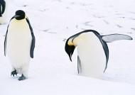 可爱企鹅图片(37张)