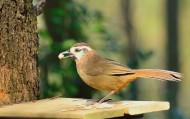 眼纹噪鹛鸟类图片(13张)