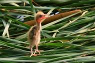 黄苇鳽幼鸟图片(11张)