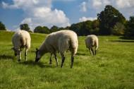 绵羊图片(19张)