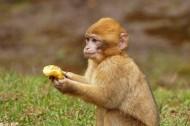 灵巧的猕猴图片(14张)