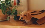 腊肠犬图片(35张)