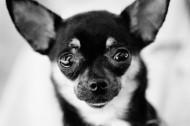 狗的黑白图片(36张)