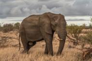身形巨大的野生大象图片(9张)