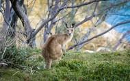 可爱的袋鼠图片(11张)