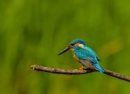 翠鸟鸟类图片(9张)