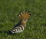 草原上的戴胜鸟类图片(7张)