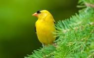 金枕黑雀鸟类图片(12张)