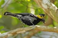 黄颊山雀图片(10张)