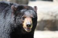 黑熊图片(18张)