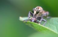 苍蝇图片(11张)