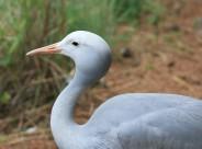 高雅而美丽的蓝鹤图片(15张)
