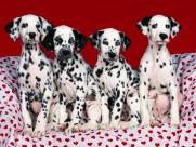 斑点狗特写图片(8张)
