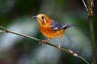 漂亮的橙头地鸫鸟类图片(5张)