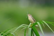 小小的柳莺图片(23张)