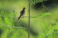 鹪莺图片(8张)