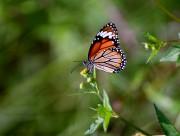 漂亮的蝴蝶图片(10张)
