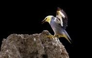 丝光椋鸟图片(14张)