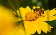 勤劳的小蜜蜂图片(8张)