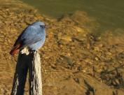 红尾水鸲图片(8张)
