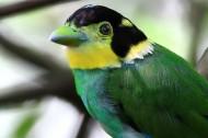 长尾阔嘴鸟图片(7张)