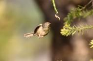长尾缝叶莺图片(12张)