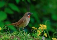 红点颏鸟类图片(10张)
