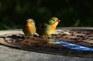 红嘴相思鸟图片(10张)