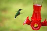 蜂鸟图片(17张)