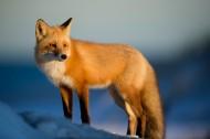 可爱的狐狸图片(19张)