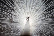 美丽端庄的白孔雀图片(15张)