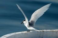 燕鸥鸟类图片(6张)