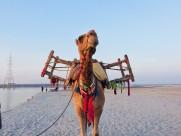 骆驼高清图片(13张)